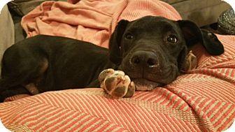 Retriever (Unknown Type) Mix Puppy for adoption in Hamburg, Pennsylvania - Barrow