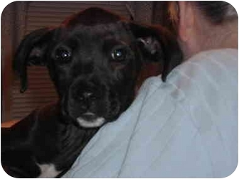 Labrador Retriever Mix Puppy for adoption in Haverhill, Massachusetts - BROOKE