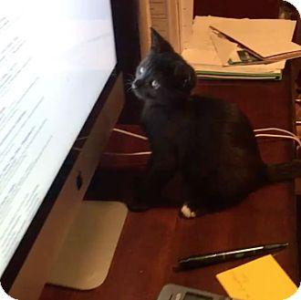 American Shorthair Kitten for adoption in New York, New York - Winnie