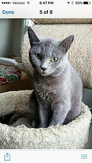 Domestic Shorthair Cat for adoption in New York, New York - Sheba