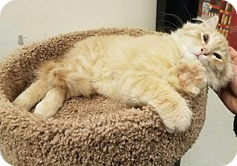 Domestic Longhair Kitten for adoption in Colonial Heights, Virginia - Tourmaline