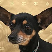 Adopt A Pet :: Angel - Garland, TX