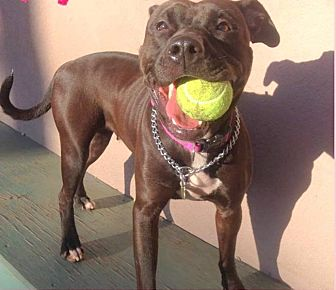 American Pit Bull Terrier/Labrador Retriever Mix Dog for adoption in Tinton Falls, New Jersey - SHANICE