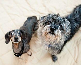 Standard Schnauzer/Dachshund Mix Dog for adoption in Kennesaw, Georgia - Bob and Buddy
