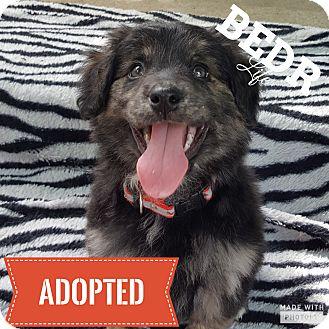 Collie/Shepherd (Unknown Type) Mix Puppy for adoption in Regina, Saskatchewan - Prudence