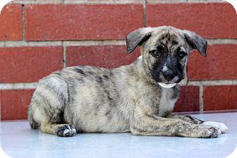 Plott Hound Mix Puppy for adoption in Waldorf, Maryland - Einstein