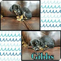 Adopt A Pet :: Gibbs - Newcastle, OK