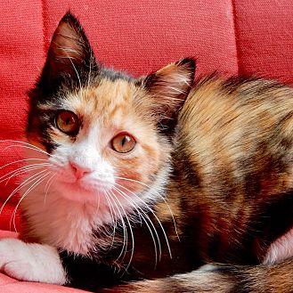 Calico Kitten for adoption in Long Beach, New York - Dash