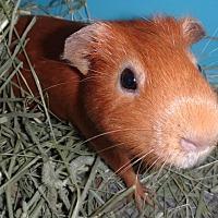 Adopt A Pet :: Chilli - Imperial Beach, CA
