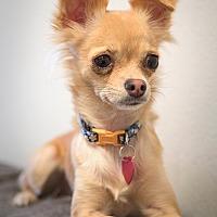 Adopt A Pet :: Jules - Fountain Valley, CA