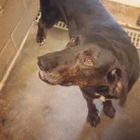 Adopt A Pet :: Toddy - Tiger, GA