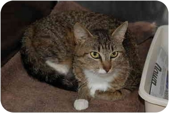 Domestic Shorthair Cat for adoption in Putnam Hall, Florida - Liza