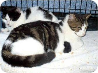 Domestic Shorthair Kitten for adoption in Colmar, Pennsylvania - Pepperoni