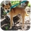 Photo 2 - Chihuahua Mix Dog for adoption in Sugar Land, Texas - Ceaser
