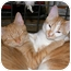 Photo 4 - Domestic Shorthair Cat for adoption in Nashville, Tennessee - Bunny