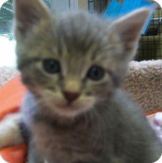 Domestic Shorthair Kitten for adoption in Grants Pass, Oregon - Pongo
