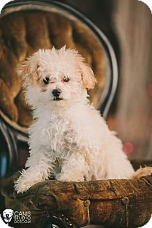 Maltese/Poodle (Toy or Tea Cup) Mix Puppy for adoption in Portland, Oregon - Cookie