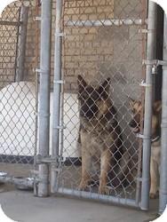German Shepherd Dog Dog for adoption in Warren, Michigan - Hansel