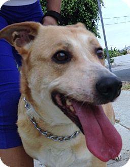 Labrador Retriever/Cattle Dog Mix Dog for adoption in Los Angeles, California - Sasha