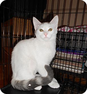 Domestic Shorthair Kitten for adoption in Richmond, Virginia - Snow