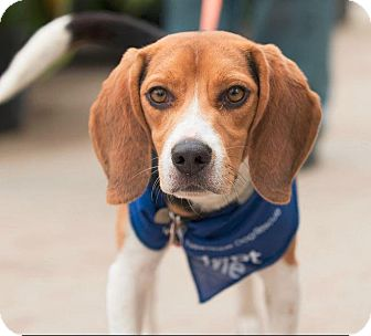 Beagle Mix Dog for adoption in Saskatoon, Saskatchewan - Franko Henry