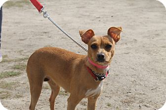 Chihuahua Mix Dog for adoption in Waldorf, Maryland - Delilah