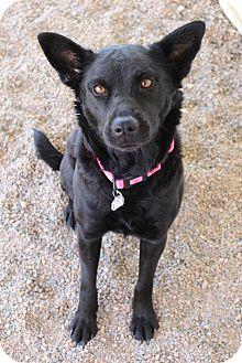 Australian Kelpie/Labrador Retriever Mix Dog for adoption in Chino Valley, Arizona - Molly