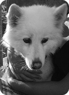 Samoyed/Chihuahua Mix Dog for adoption in Wichita, Kansas - Pearl