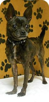 Boston Terrier Mix Dog for adoption in Gary, Indiana - Shelly