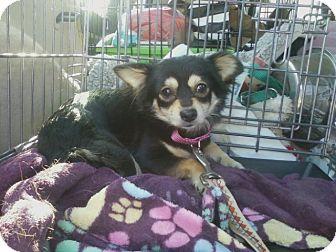 Chihuahua Dog for adoption in Oak Ridge, New Jersey - Della