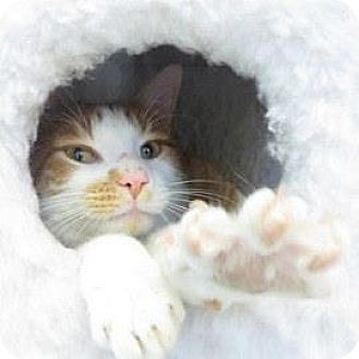 Domestic Shorthair Cat for adoption in Janesville, Wisconsin - O'Conner