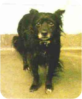 Pomeranian/Spaniel (Unknown Type) Mix Dog for adoption in New York, New York - Poochie