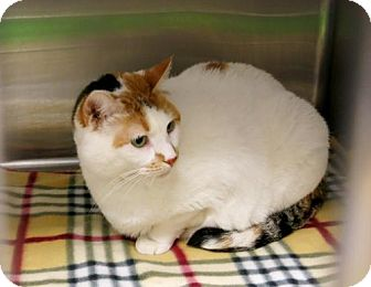 Domestic Shorthair Cat for adoption in Northbrook, Illinois - Miss Jackson