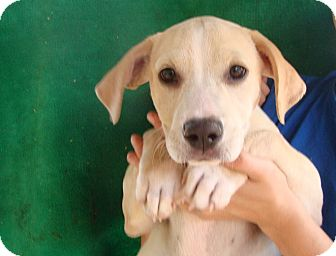 Labrador Retriever/Golden Retriever Mix Puppy for adoption in Oviedo, Florida - Reeses