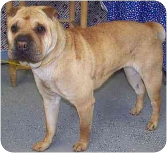 Shar Pei Dog for adoption in New Carlisle, Indiana - Shania