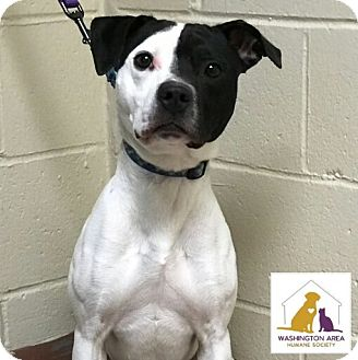 Pit Bull Terrier/Terrier (Unknown Type, Medium) Mix Dog for adoption in Eighty Four, Pennsylvania - Jumper