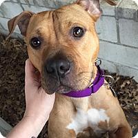 Adopt A Pet :: Jade - Des Peres, MO
