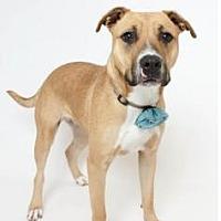 Adopt A Pet :: Angel - In Training - Jefferson, LA