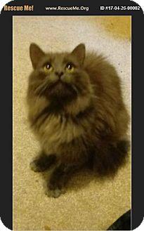 Persian Cat for adoption in Waldorf, Maryland - Zora