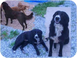 Newfoundland Mix Dog for adoption in Arlington, Virginia - Newfie