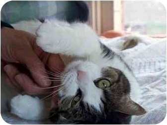 American Shorthair Cat for adoption in Alexandria, Virginia - Michi