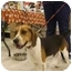Photo 2 - Beagle Dog for adoption in Ventnor City, New Jersey - ROSCOE