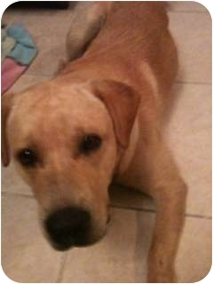 Labrador Retriever Mix Dog for adoption in Ocean Ridge, Florida - Dude