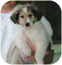 Collie Mix Puppy for adoption in New Boston, New Hampshire - Josie