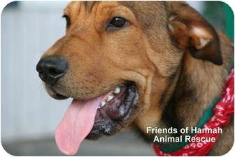 Shar Pei Mix Puppy for adoption in Gallatin, Tennessee - Mason
