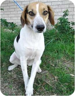 Coonhound (Unknown Type)/Beagle Mix Dog for adoption in Harper, Texas - Mable