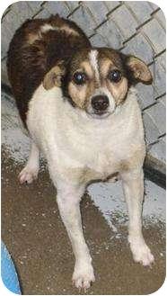 Rat Terrier Mix Dog for adoption in Mt. Vernon, Illinois - Tinley