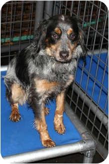 Australian Shepherd/Spaniel (Unknown Type) Mix Dog for adoption in Sacramento, California - Sassy