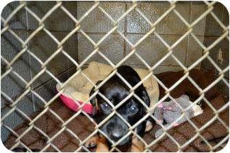 Labrador Retriever Mix Puppy for adoption in Henderson, North Carolina - Doodle