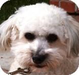 Bichon Frise Dog for adoption in La Costa, California - Barney
